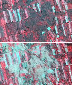 Wiatrołomy w drzewostanach Kuźni Raciborskiej na zobrazowaniach satelitarnych Dove (Planet) <br /> Lasy Kuźni Raciborskiej 25 czerwca br. (zdj. górne) i 20 lipca (zdj. dolne), CIR