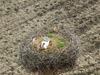 Na Podlasiu trwa geokodowanie bocianich gniazd